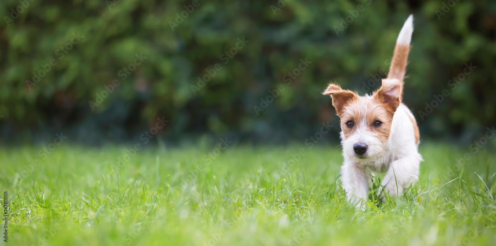 Fototapety, obrazy: Web banner of a playful happy jack russell pet dog puppy as walking in the grass