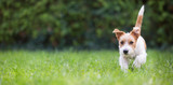 Fototapeta Zwierzęta - Web banner of a playful happy jack russell pet dog puppy as walking in the grass