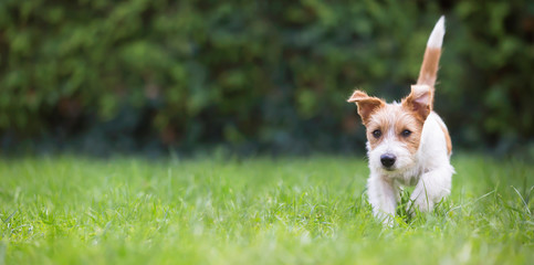 Web banner of a playful happy jack russell pet dog puppy as walking in the grass