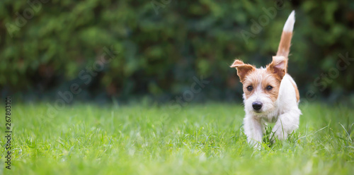 Web banner of a playful happy jack russell pet dog puppy as walking in the grass - 267803101