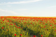 canvas print picture - Springtime landscape with wild red poppies