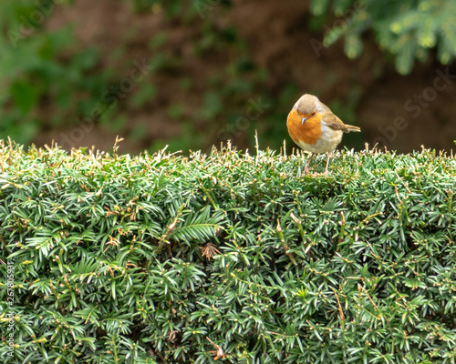 Fotomural  An European Robin, Erithacus rubecula, looking down from the top of a green hedge