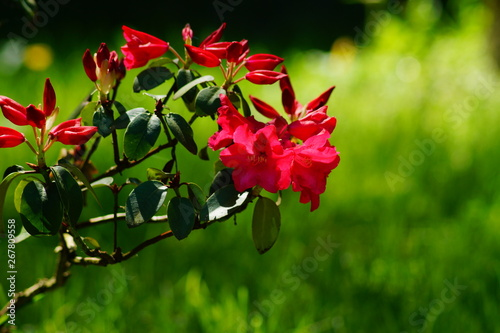 Foto auf AluDibond Azalee Beautiful blooming azalea - rhododendron (Rhododendron)