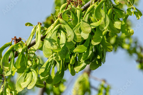 Photo Branch of maple Acer saccharinum with lot of reen seeds against blue sky