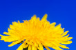 canvas print picture - natural background with bright yellow spring sunny flower dandelion closeup honey-covered pollen grows in a spring clear sunny day against a blue sky