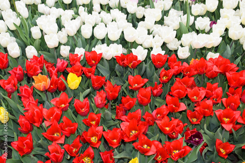 Flower bed with colorful tulips: red and white. Bright fresh flowers and green leaves. Spring nature background for card design or web banner. Beautiful bouquet.