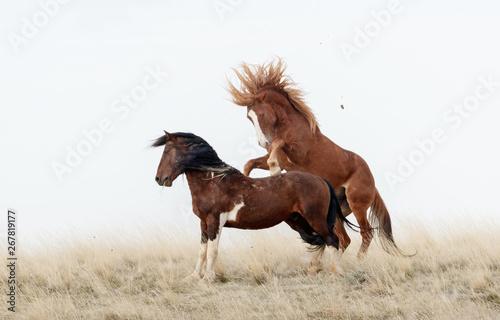 Wild Horses in Battle Canvas-taulu