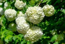 Beautiful White Balls Of Blooming Viburnum Opulus Roseum On Dark Green Background. White Guelder Rose Or Viburnum Opulus Sterilis, Snowball Bush, European Snowball Is A Large, Deciduous Shrub