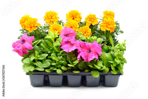 Papiers peints Pansies Tagetes and petunia flower tray box on white isolated background.