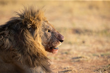 Portrait Of A Lion Male With B...
