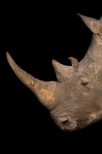 White Rhino Portrait With A Re...