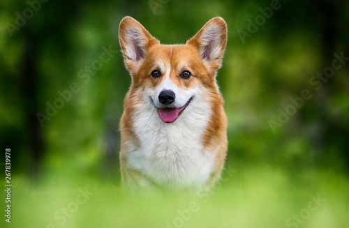 welsh corgi dog sitting in green grass