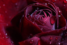 Abstract Floral Macro Background, Burgundy Rose With Raindrops