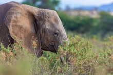Close Up Profile Of An Elephant Behind Shrubs