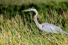 Great Blue Heron Sneaking Through Tall Grass