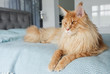 A big beautiful orange Maine Coon Cat lies on the bed in the room.