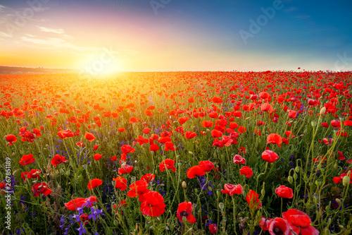 Fototapeta Landscape of beautiful red blossom poppy flower field on sunset. obraz na płótnie