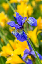 Bud Of Siberian Iris Blue Color