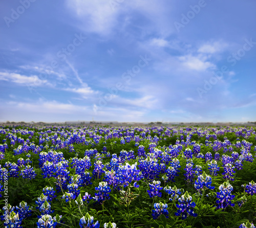 Photo Texas Bluebonnet Field of Wildflowers