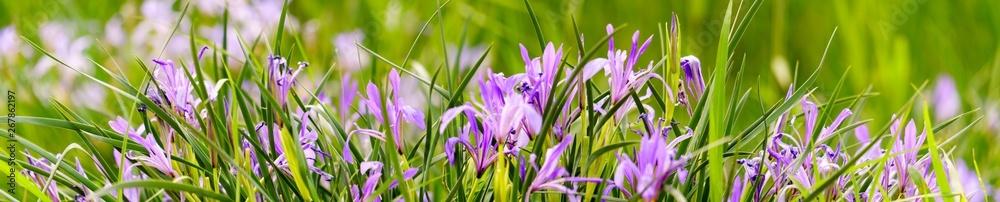 Fototapeta Panoramic view of iris on green color bokeh background