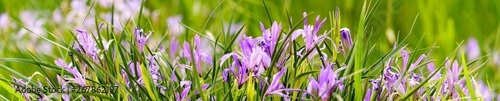 Foto op Aluminium Iris Panorama view of iris on green color bokeh background