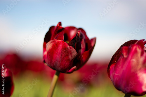 Red Wine Tulip Flowers with blurred background horizontal Canvas Print