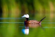 Swimmin Duck. Duck: White Head...