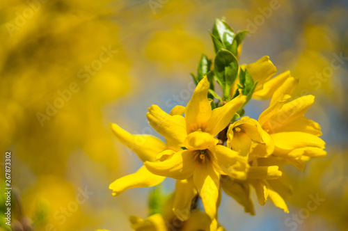 Beautiful yellow forsythia flowers ( forsythia x intermedia, europaea)  close-up on a blurred background Wallpaper Mural