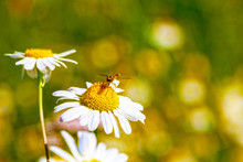 The Dragonfly Sits On A Daisy Flower. Close-up.