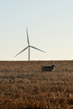 A Single Sheep Grazing On An Drought Affected Australian Farm In Front Of A Wind Farm Turbine Producing Renewable Energy.