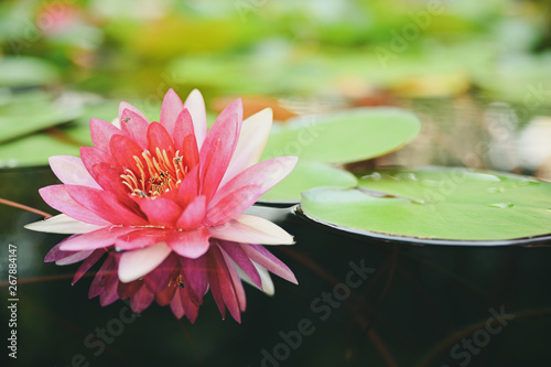 Poster de jardin Nénuphars beautiful lotus flower on the water after rain in garden with bokeh.