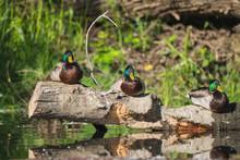 Three Mallard Duck Drakes Resting On A Log