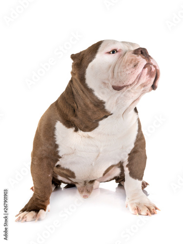 Poster Countryside american bully in studio