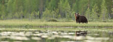 Brown Bear Panorama In Bog. Pa...