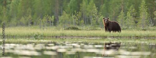 Brown bear panorama in bog. Panoramic view of brown bear in bog at summer.