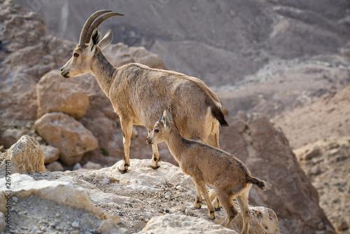 Fotografie, Tablou Ibex on the cliff at Ramon Crater in Negev Desert in Mitzpe Ramon, Israel