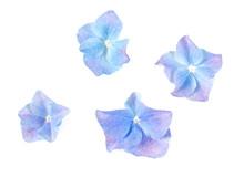 Blue Hydrangea Flower Isolated On White