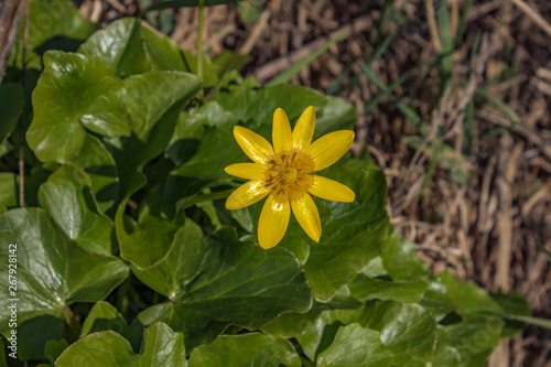 Yellow flowers Ficaria verna with green leaves in spring