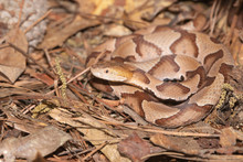 Southern Copperhead On The No...