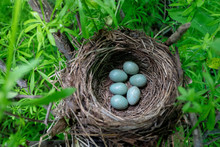 Blackbird's Nest In The Forest