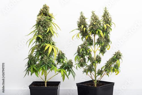 potted cannabis plant, hybrid of sativa and indica Fototapeta
