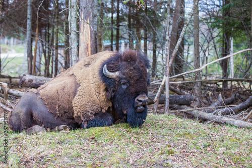 Fototapeta huge male american bison