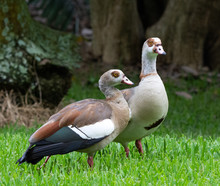 A Pair Of Egyptian Geese With ...
