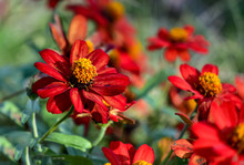 Red Zinnia In A Group Planting
