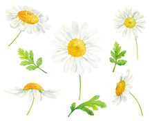 Watercolor Hand Drawn Botanical Illustration Set With Chamomile Flowers And Leaves Isolated On White Background