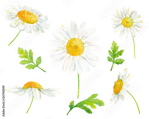 Carta da parati Watercolor hand drawn botanical illustration set with chamomile flowers and leav