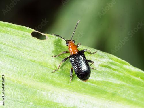 Bombardier beetle with black wing waling on green leaf  in garden Fototapet