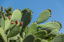 Tropical Prickly Pear Plant, Opuntia Cactus Or Barbary Fig