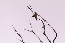 Wild Falcon On Tree