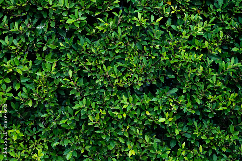Fototapety, obrazy: Green Leaves background or the naturally walls texture Ideal for use in the design fairly.